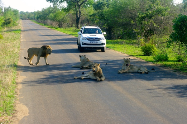 One of the most surreal moments of the trip was when a pack of lions stopped traffic in Kruger National Park!