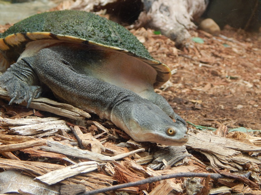 This is a really interesting turtle we saw at the sanctuary with an abnormally long neck.