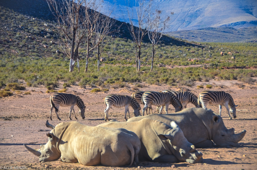 7 rhinos and zebras