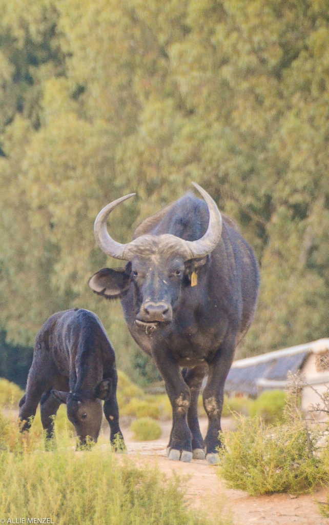 8 water buffalo