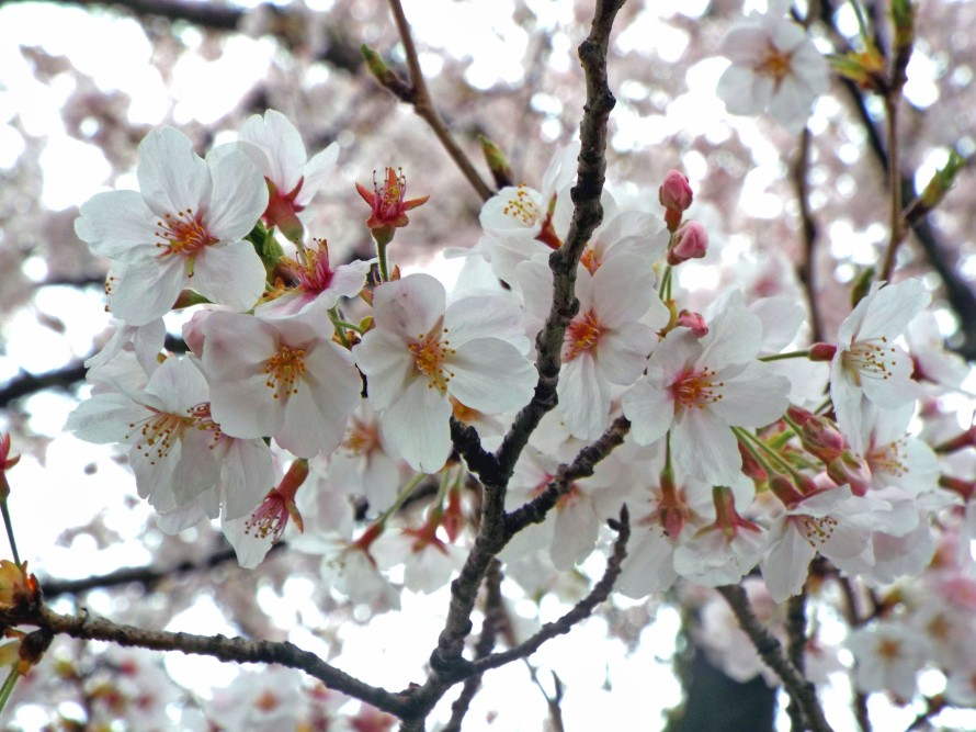 Kawagoe Sakura, Tokyo, Japan, Ditkoff - Photo 7