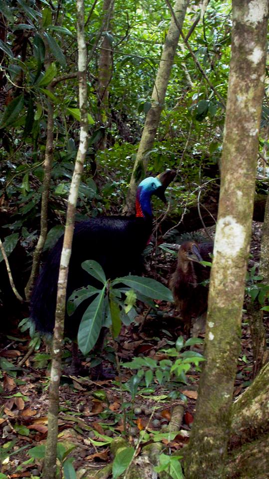 A picture of the Cassowaries we encountered