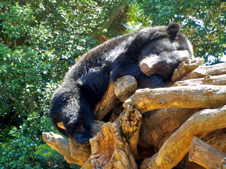 Ueno Zoo is famous for its pandas, but their brown bears are adorable too.