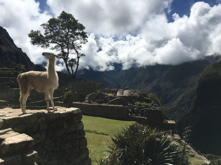 The rumors are true- there are llamas in Machu Picchu!