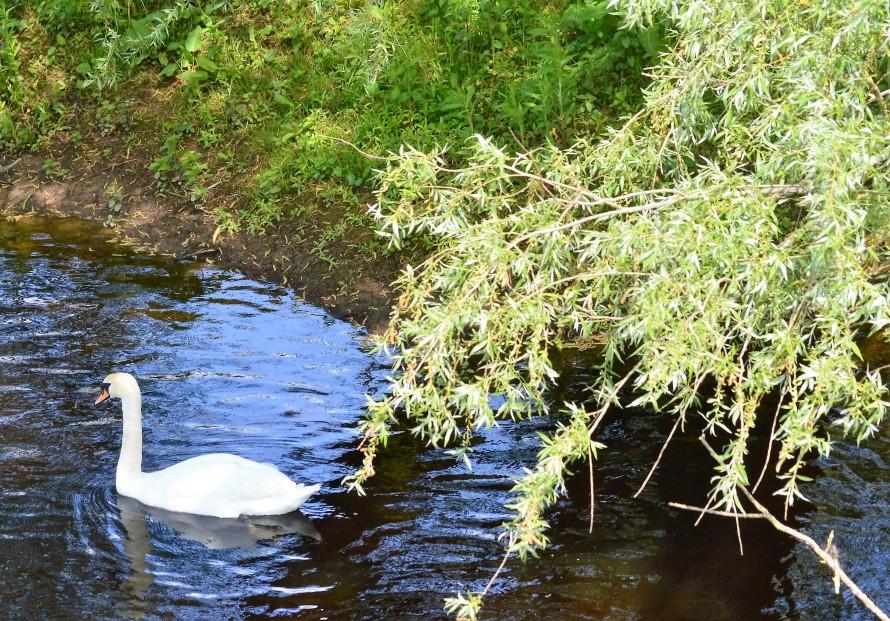 Swans, University of Limerick, Ireland