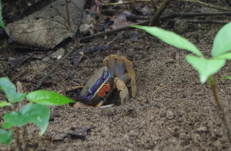 A colorful crab, one of the many creatures spotted while hiking. Also seen were monkeys, geckos, lizards, a snake, a crocodile, and a sloth.