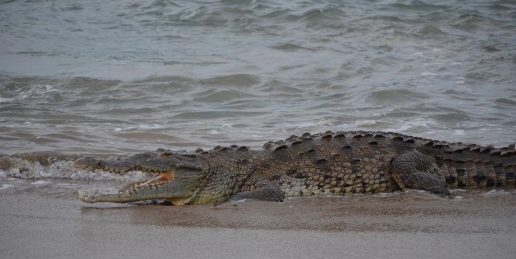 Crocodile, Tamarindo, Costa Rica, Joyce, Photo 5