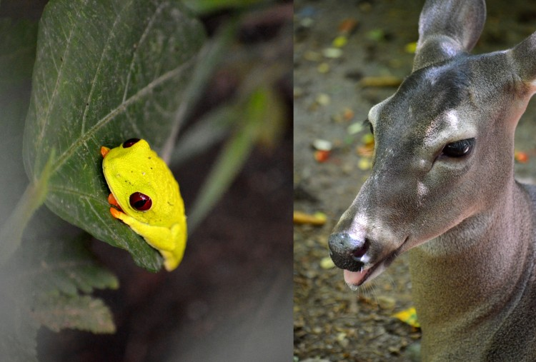 The Red Eye Tree Frog is quite famous in Costa Rica, but less known is the fact that the White Tailed Deer is the national animal of Costa Rica and is protected from hunting under law.