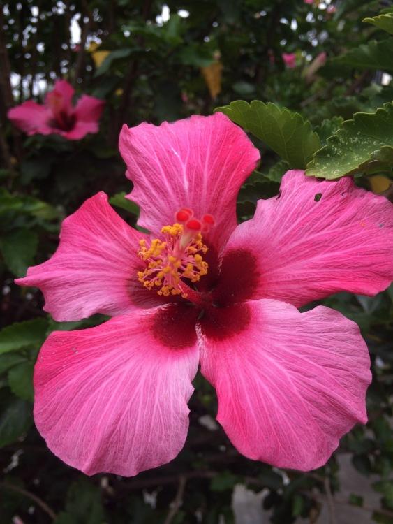 Hibiscus Flower, Heredia, Costa Rica, Joyce, Photo 9