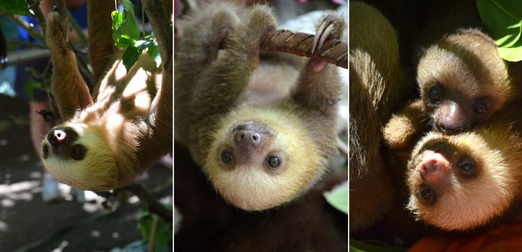The rescue center had several adult sloths, and many baby sloths. On the far left, an adult sloth hangs in the tree, as sloths do. The middle photo shows a sloth hanging from a basket, and the far right photo shows two baby sloths who have just been fed.