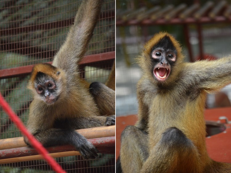 This very social monkey was a great entertainer and model to our tour group at the Jaguar Rescue Center in Puerto Viejo