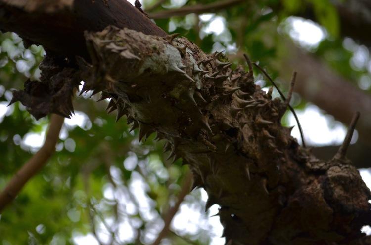 Spikey Tree, Tamarindo, Costa Rica, Joyce, Photo 4