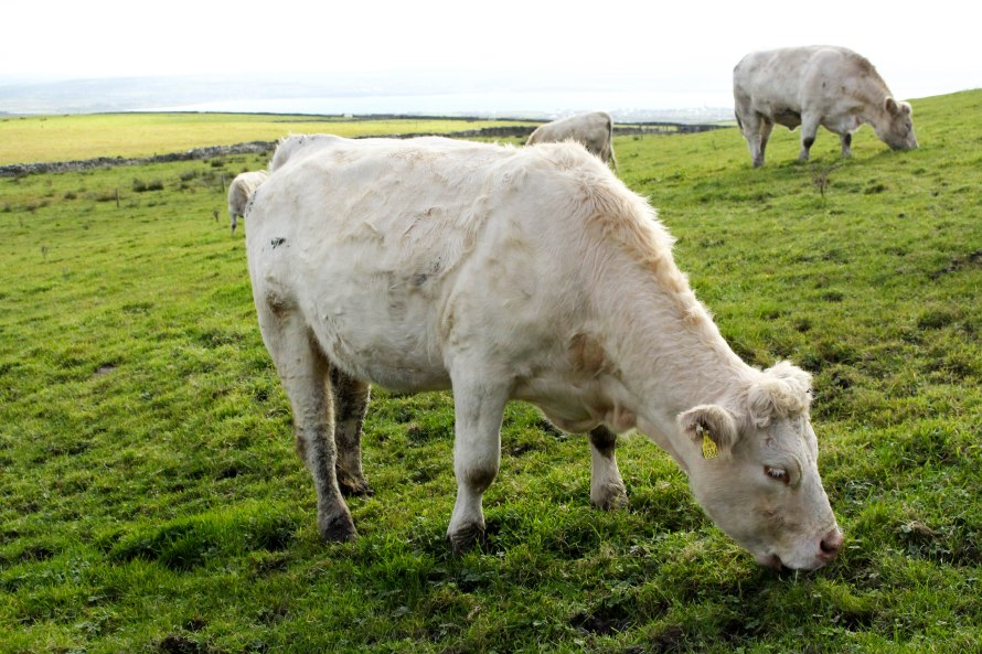 cow-at-moher-annissa-peterson-photo-8
