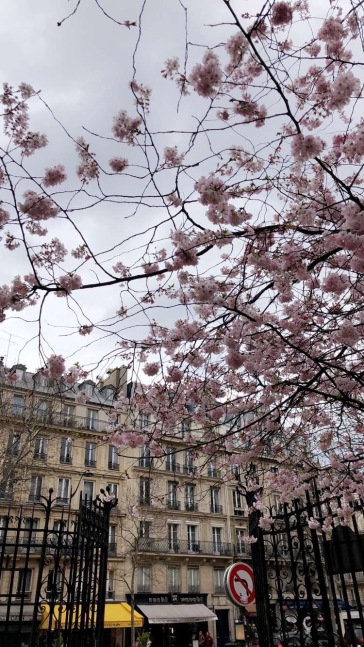 Cherry Blossoms marking the start of spring in Paris.